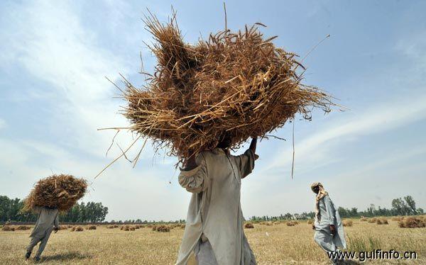 巴基斯坦预计在未来五年内大量进口小麦