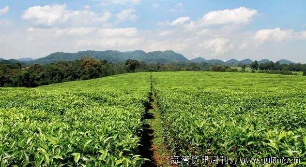 卢旺达2015年茶叶出口增长显著